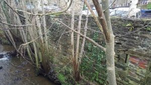 Trees growing into beck 2
